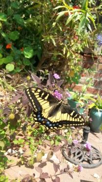 Anise swallowtail, Berkeley (CA, USA)