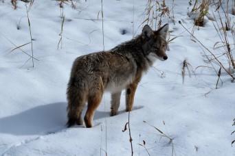 Coyote, Grand Teton National Park (WY, USA)