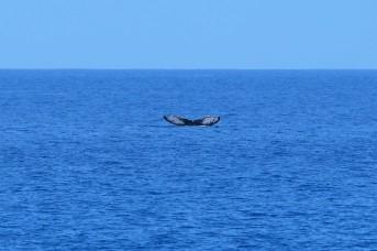 Humpback Whale (HI, USA)