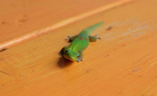 Gold dust day gecko (HI, USA)
