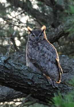 Great Horned Owl, Berkeley (CA, USA)