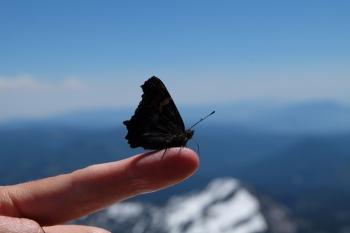California Tortoiseshell butterfly, Lassen Peak (CA, USA)