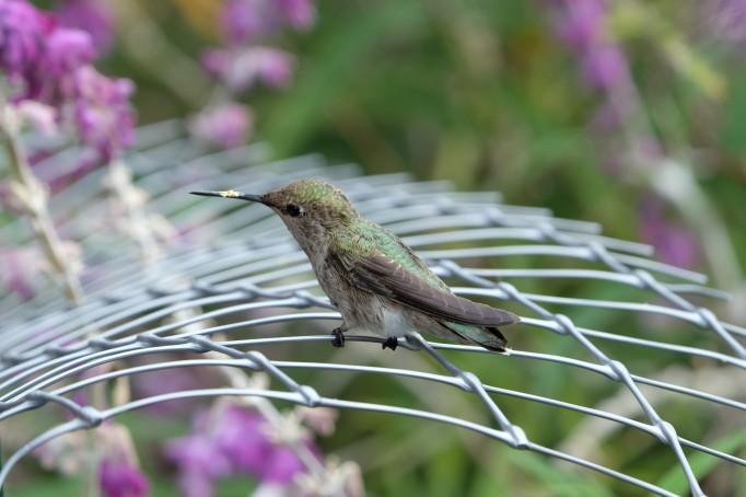 Hummingbird, Berkeley (CA, USA)
