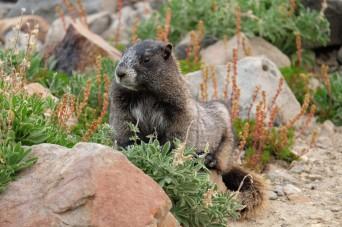 Hoart marmot, Mt Rainier National Park (WA, USA)