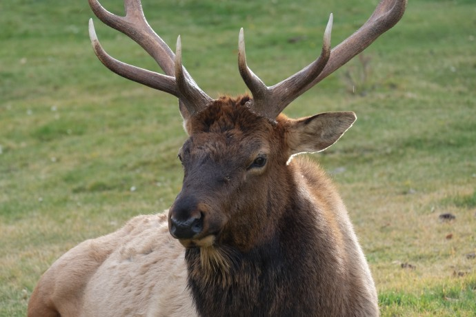 Elk, Yellowstone National Park (WY, USA)