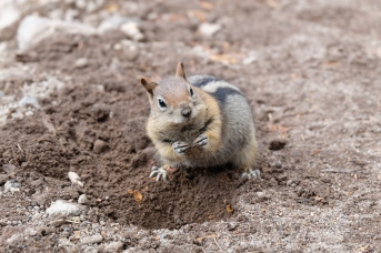 Golden mantled ground squirrel, Crater Lake National Park (OR, USA)