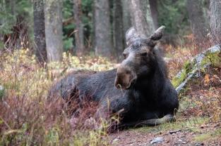 Moose, Grand Teton National Park (WY, USA)