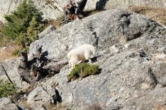 Mountain goat, Grand Teton National Park (WY, USA)