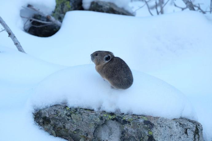 Pika, Grand Teton National Park (WY, USA)