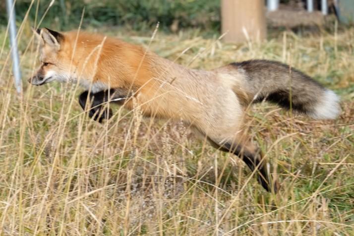 Red fox, Grand Teton National Park (WY, USA)