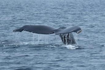 Humpback whale, Channel Islands NP (CA, USA)