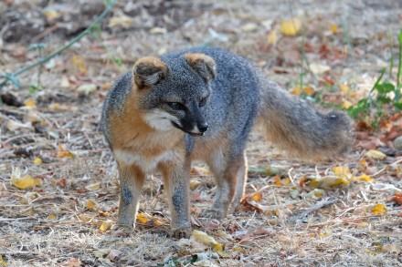 Island Fox, Channel Islands NP (CA, USA)
