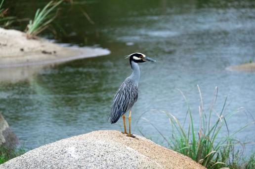 Blue Heron, Parque Tayrona (Colombia)
