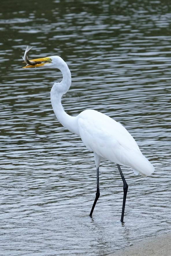 Great Egret, Parque Tayrona (Colombia)