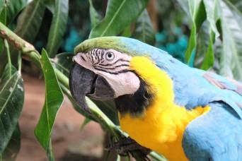 Macaw, Parque Tayrona (Colombia)
