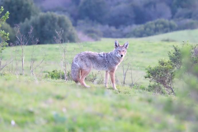 Coyote, Bay Area (CA, USA)