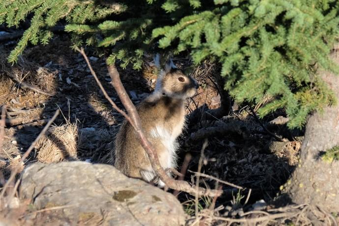 Snowshoe Hare, Denali NP (AK, USA)