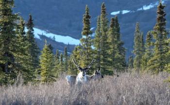 Caribou, Denali NP (AK, USA)