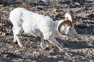 Dall Sheep, Denali NP (AK, USA)