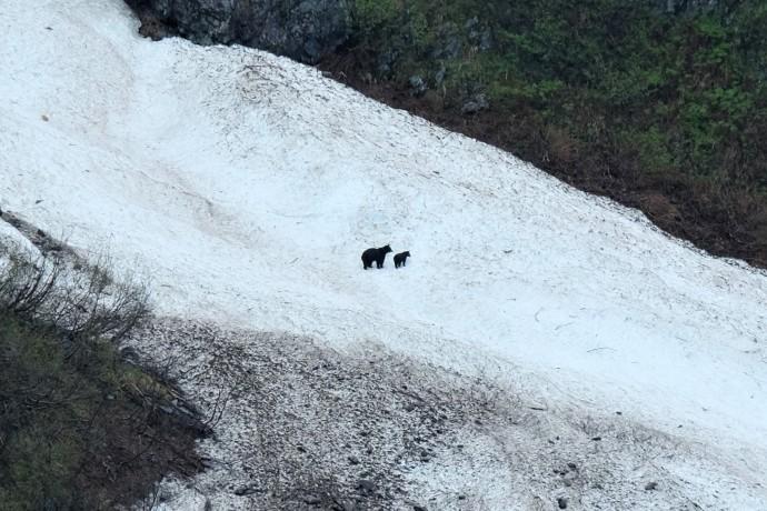 Black Bears, Kenai Fjords NP (AK, USA)