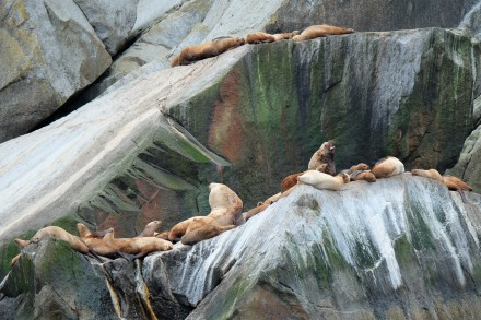 Stellar Sea Lions, Kenai Fjords NP (AK, USA)