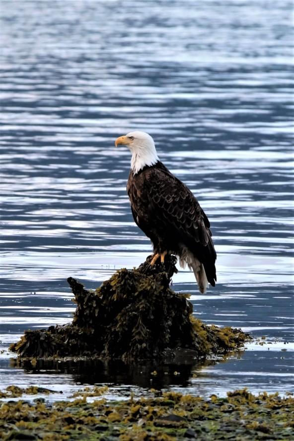 Bald Eagle, Kenai Fjords NP (AK, USA)