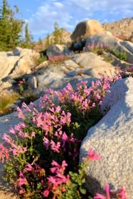 Wildflowers, Desolation Wilderness (CA, USA)