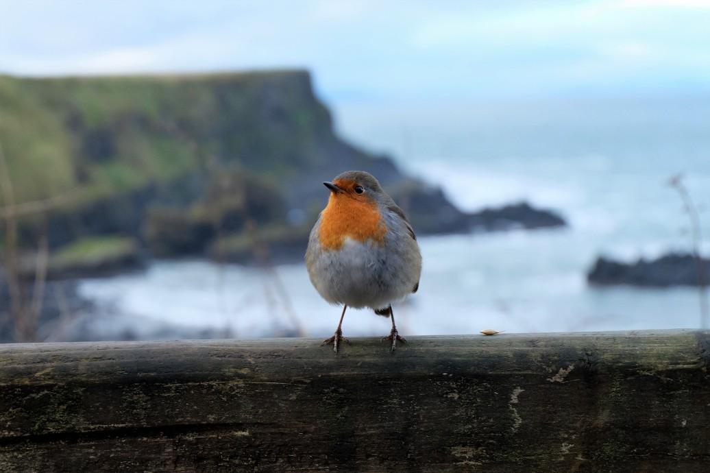 European Robin, Northern Ireland
